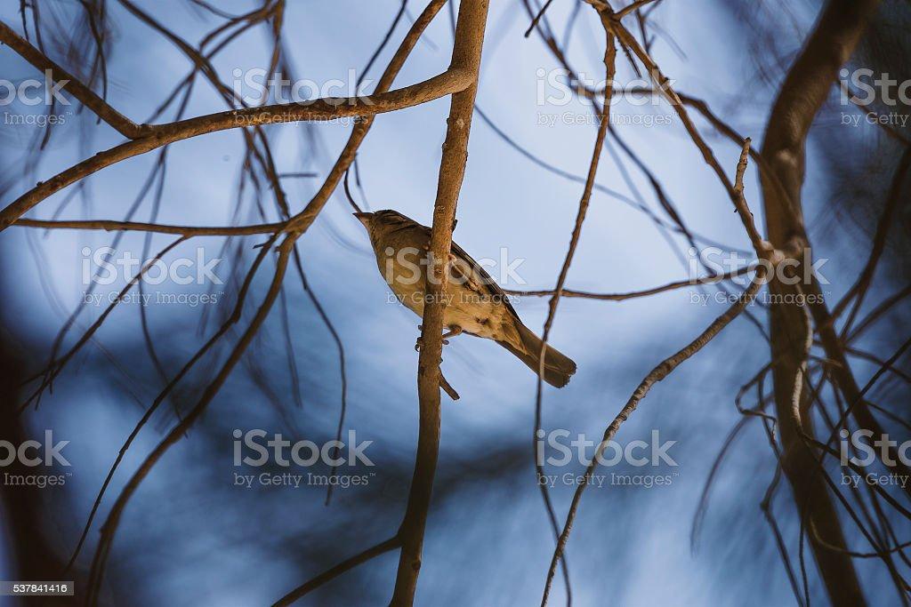 branch blue sparrow stock photo