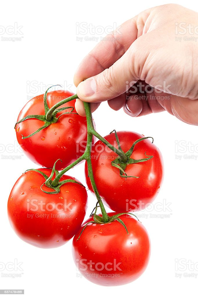 Branch fresh tomatoes in hand. stock photo