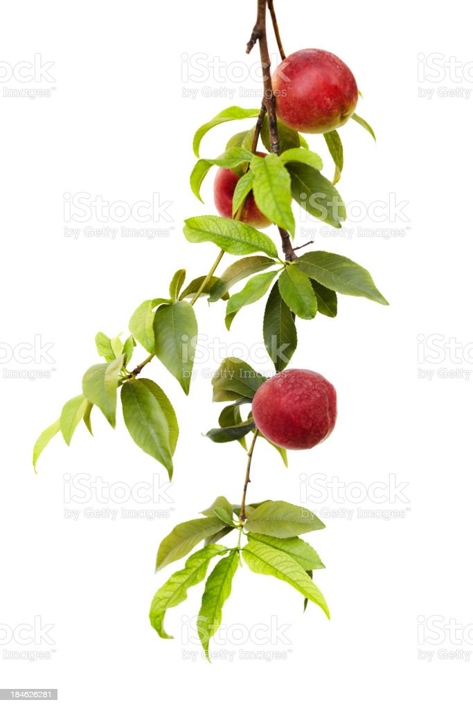 Branch from a peach tree with ripe fruit isolated on white stock photo