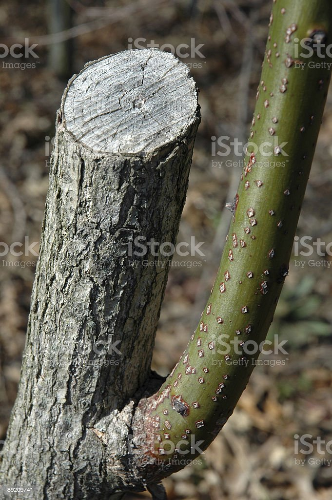 Branch from Stump royalty-free stock photo