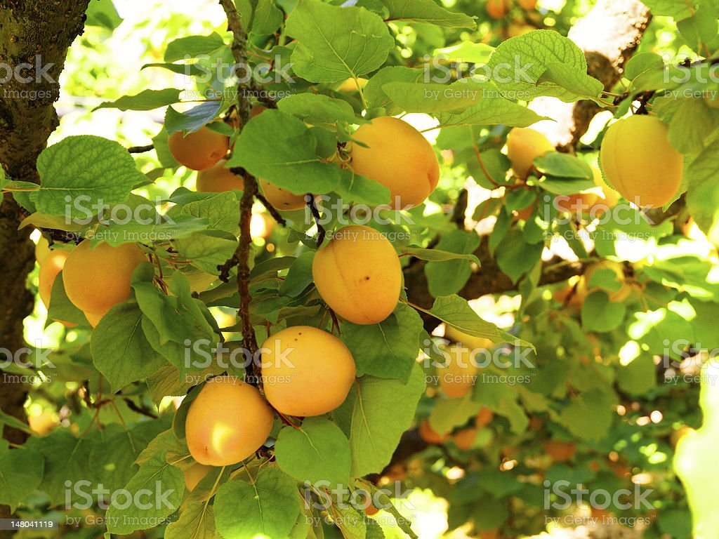 branch harvest apricot farming in the country nature royalty-free stock photo