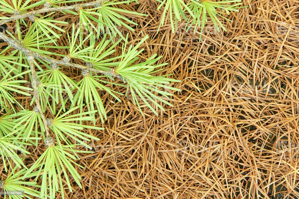 Branch larch on background of dry needles royalty-free stock photo