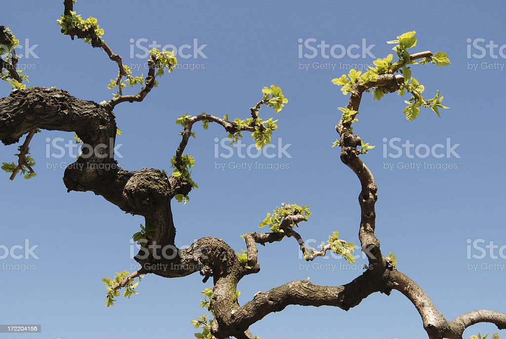 branch, mulberry tree royalty-free stock photo