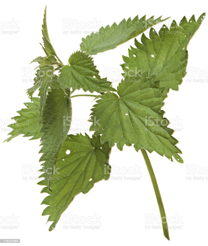 branch nettle isolated on white background royalty-free stock photo