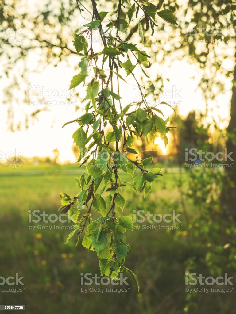 A branch of a birch tree stock photo