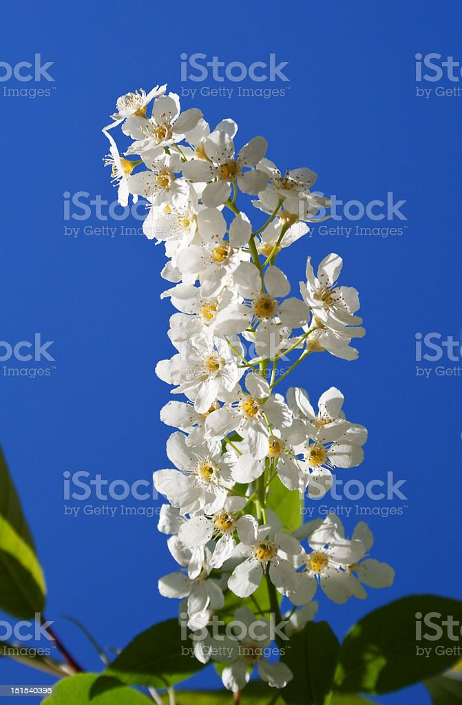 Branch of a blossoming bird cherry stock photo