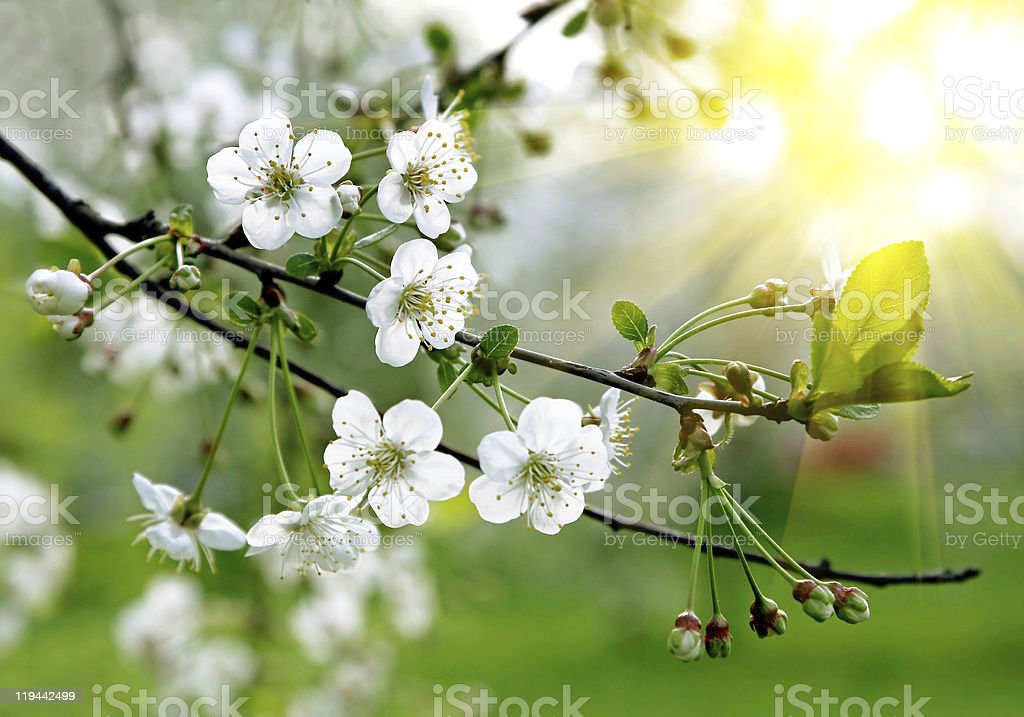 branch of a blossoming tree stock photo