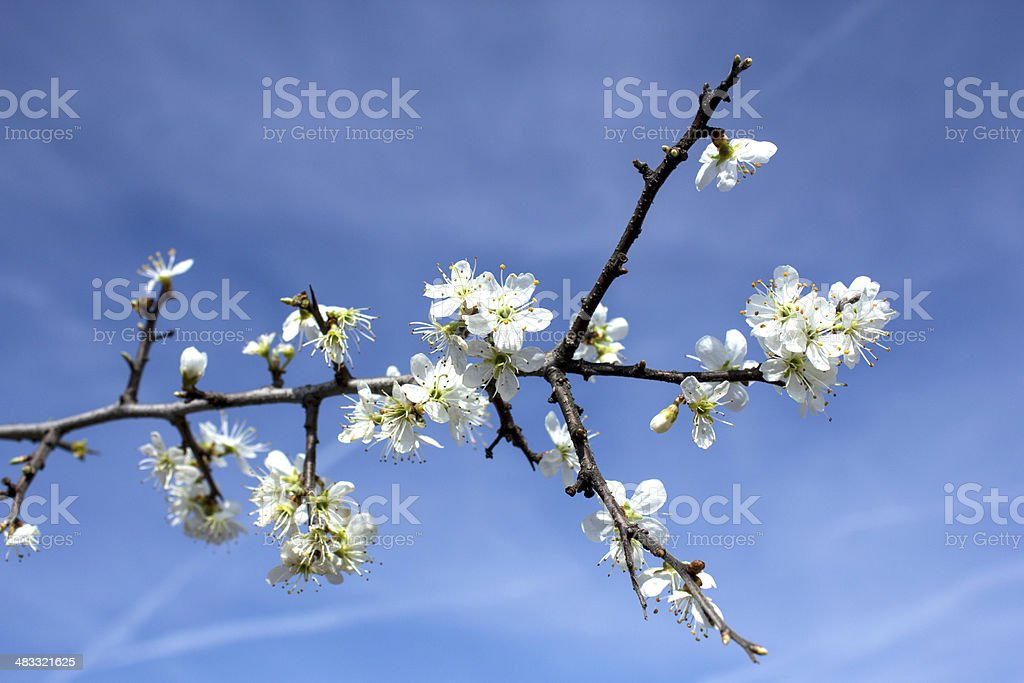 branch of a blossoming tree royalty-free stock photo