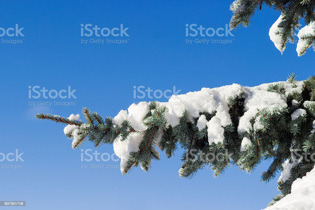 Branch of a blue spruce covered with snow closeup stock photo