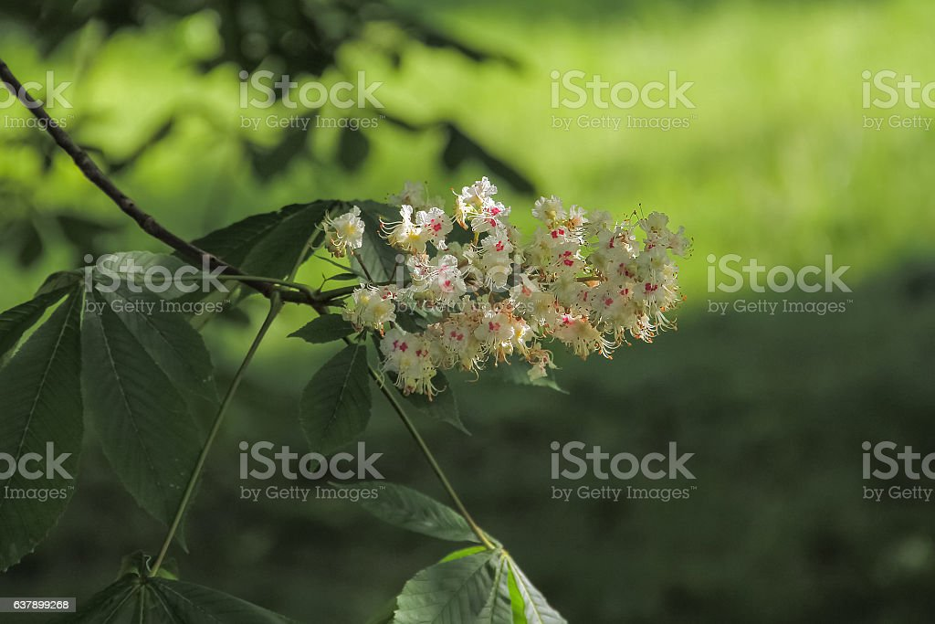 Branch of a chestnut that beautifully blooms stock photo
