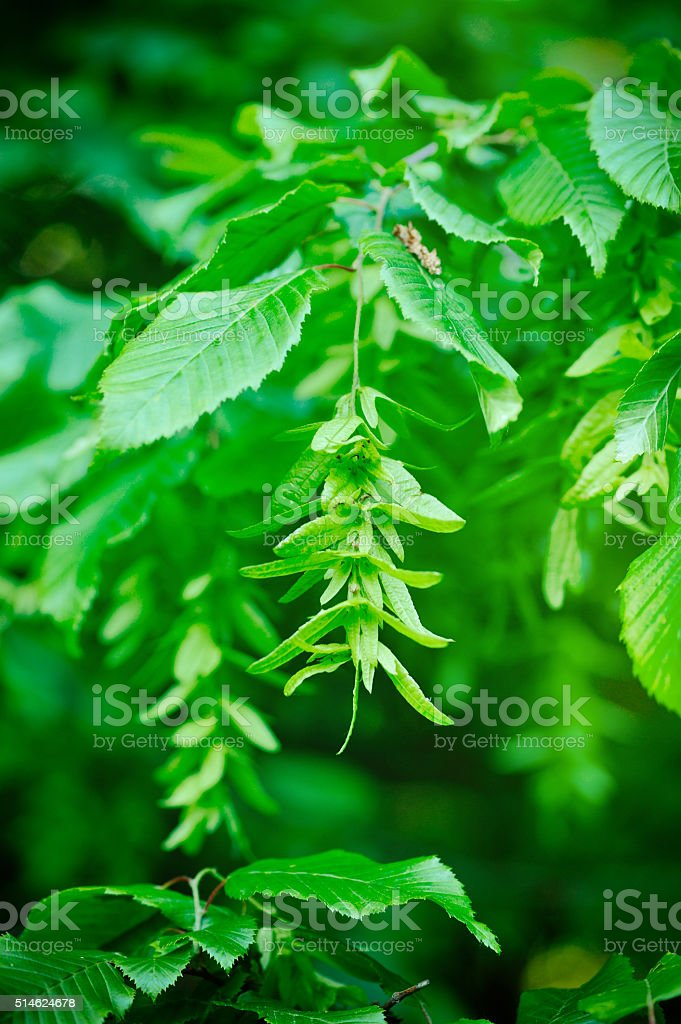 Branch of a hornbeam with leaves and drooping inflorescence stock photo