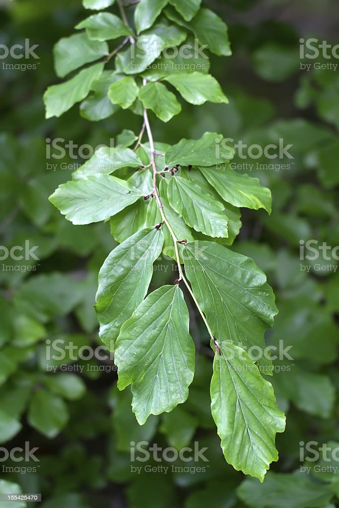 Branch of a Persian Ironwood (lat. Parrotia persica) stock photo