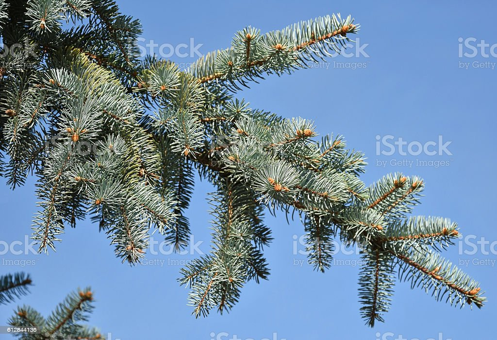 Branch of a pine tree stock photo