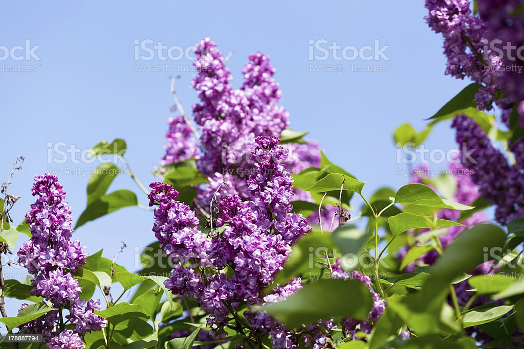 Branch of a pink lilac waves on  wind royalty-free stock photo