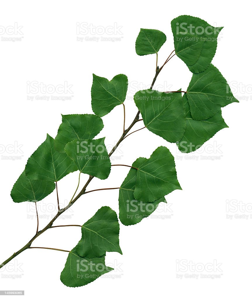 branch of a poplar royalty-free stock photo