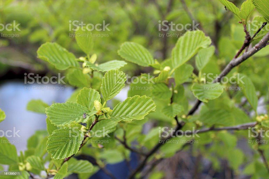 branch of alder in the spring stock photo