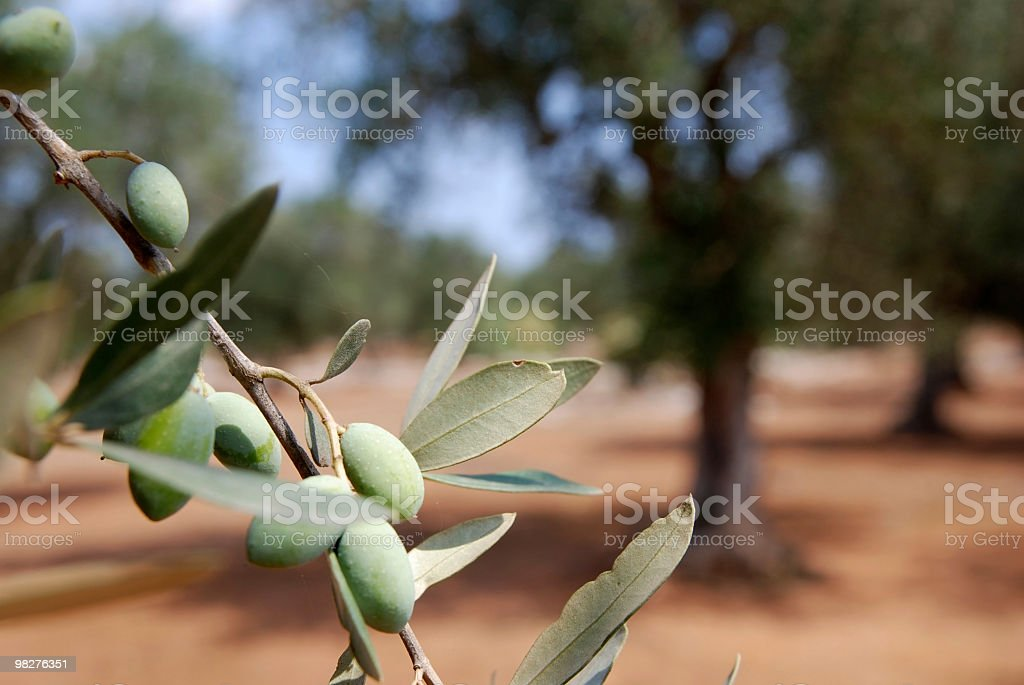 Branch of an olive tree royalty-free stock photo