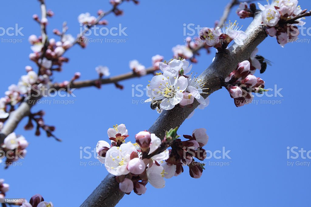 Branch of apricot tree witch flowers royalty-free stock photo