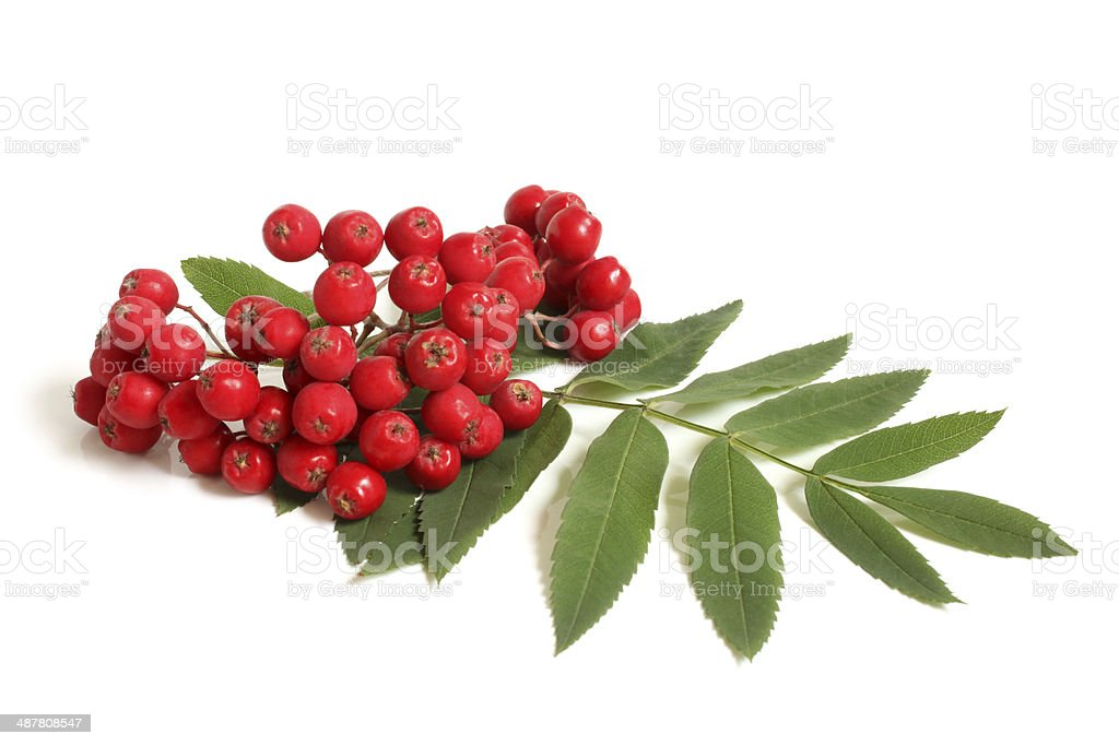 Branch of ashberry with green leaf stock photo