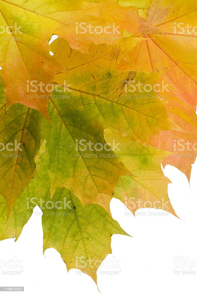 Branch of autumn leaves on white background royalty-free stock photo