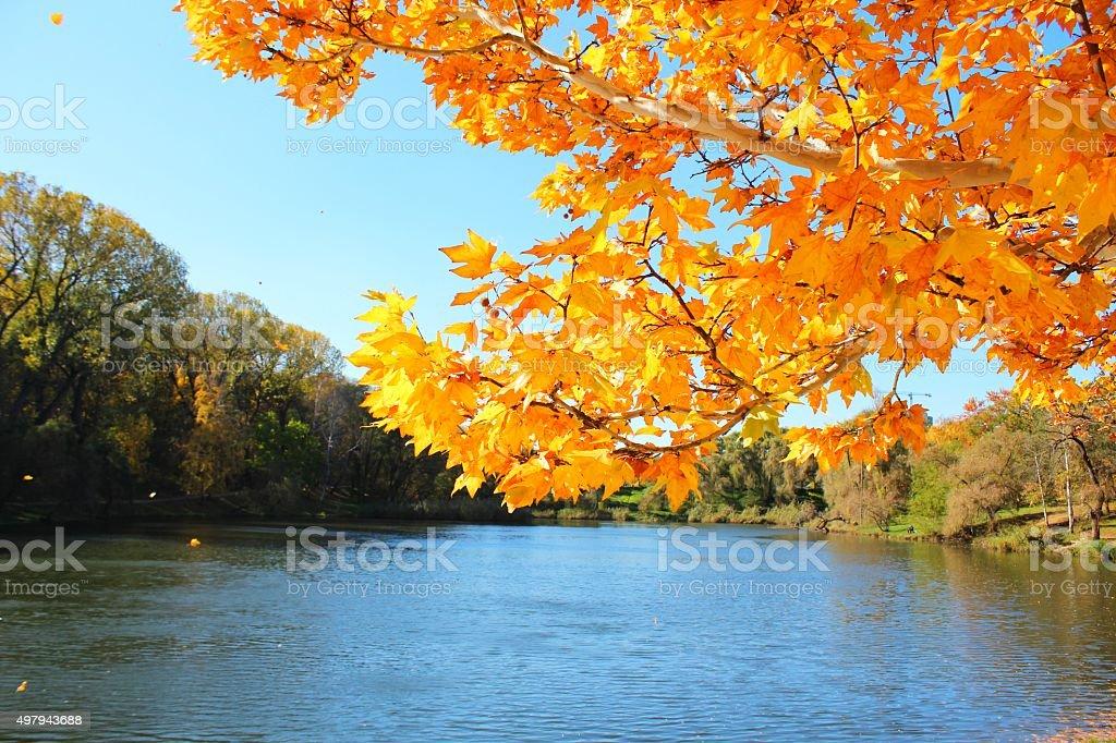 Branch of autumn platan (plane) leaves above lake stock photo