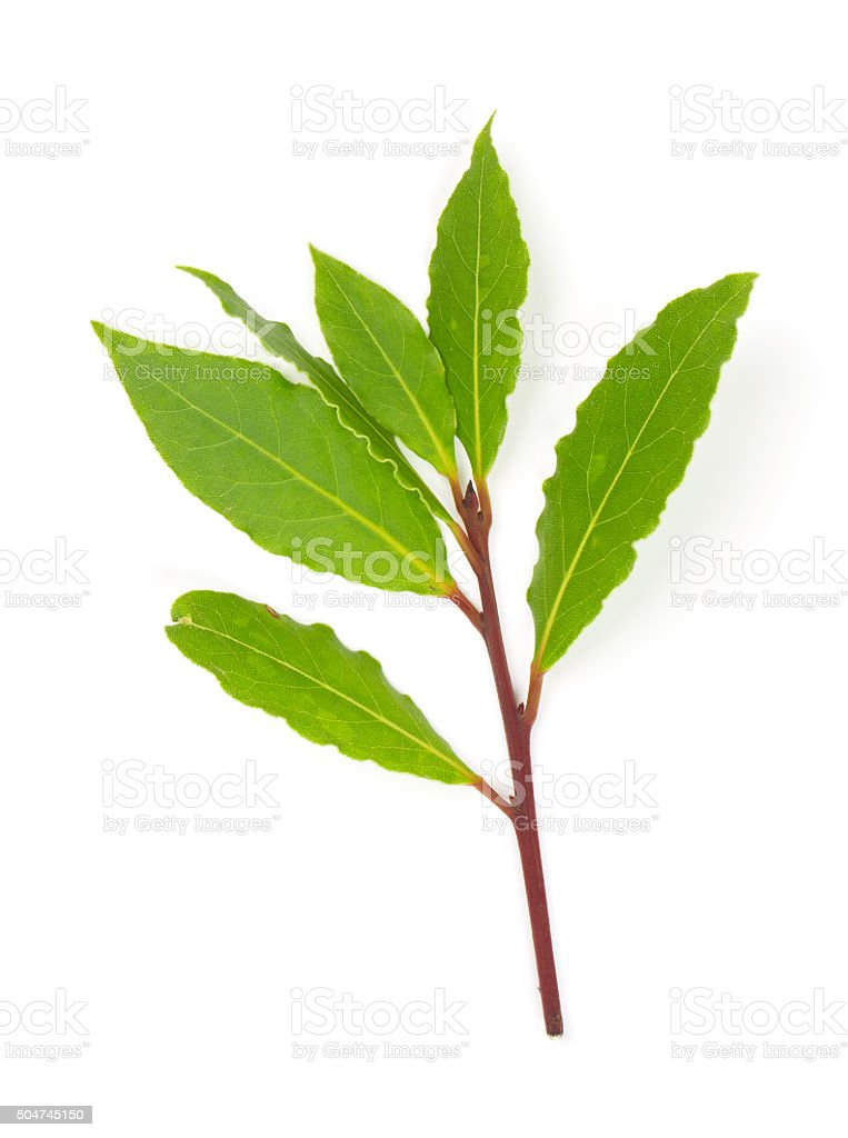 branch of bay leaves stock photo