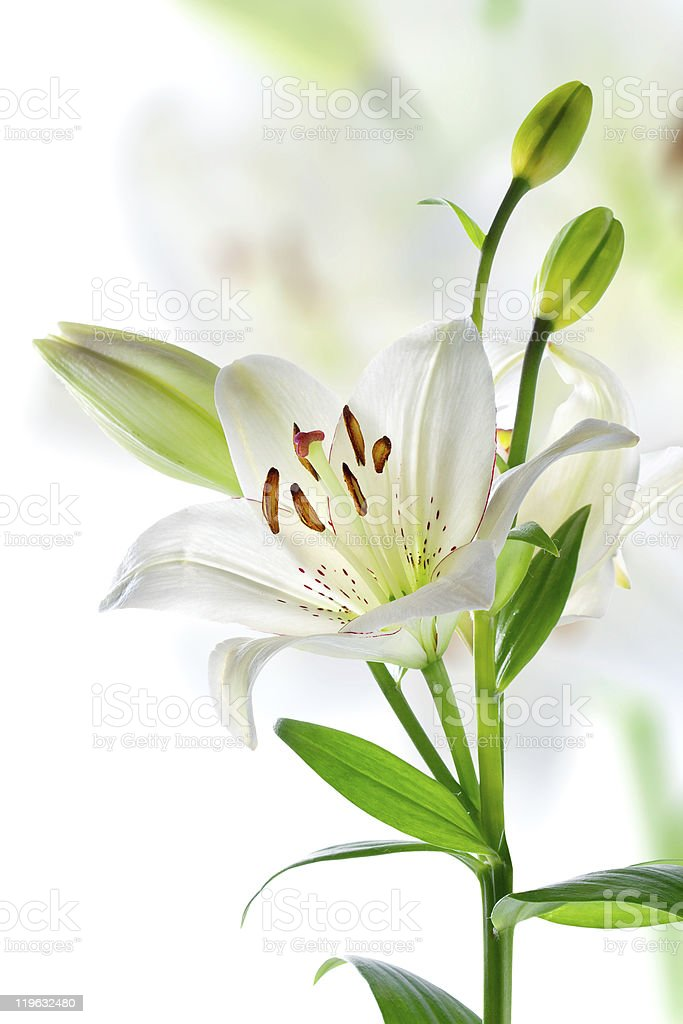 Branch of beautiful lily flowers, isolated on white royalty-free stock photo