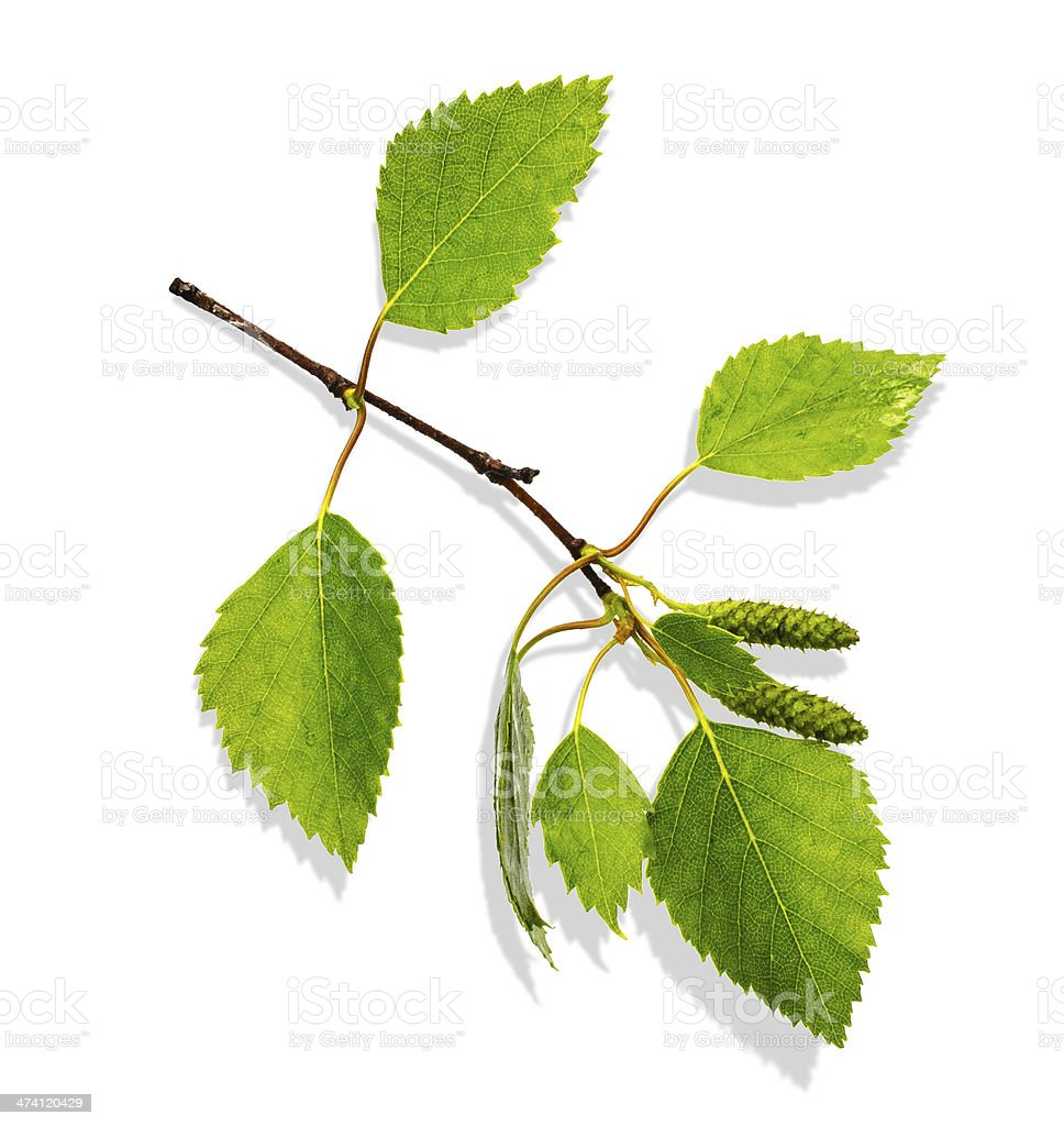 Branch of Birch stock photo