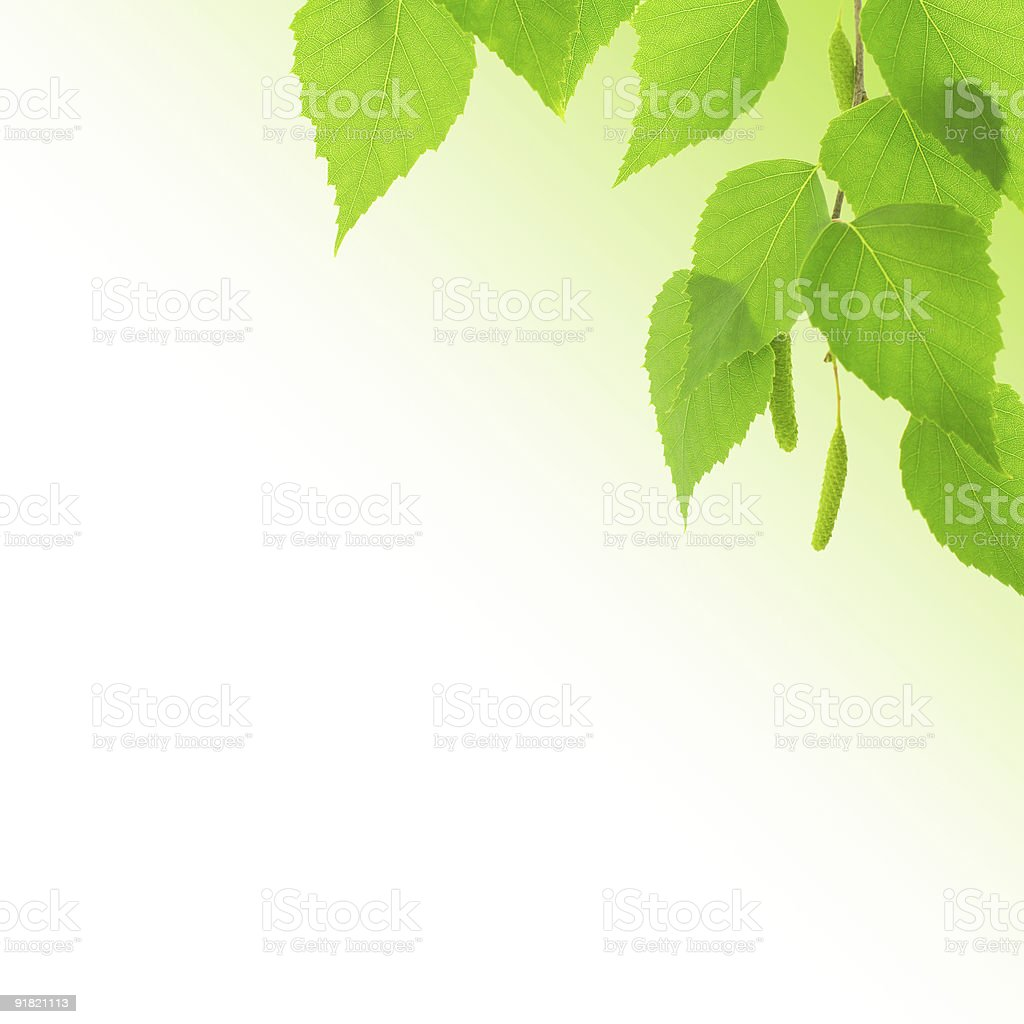 Branch of birch with young green leaves royalty-free stock photo