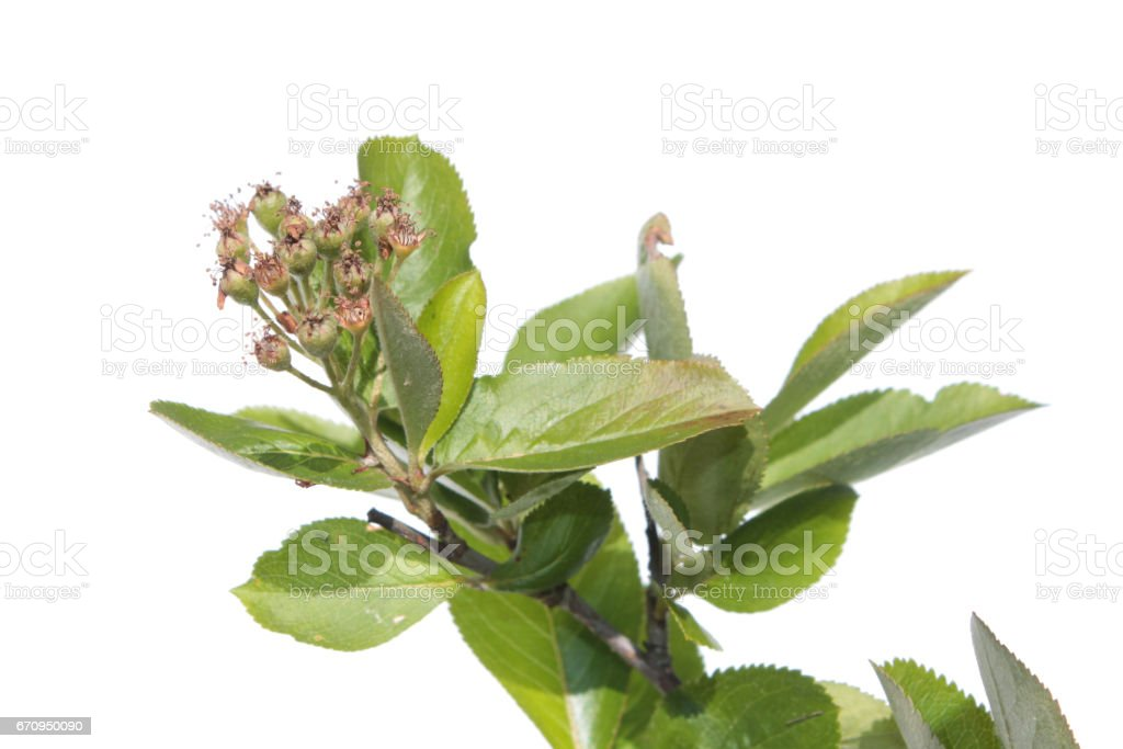 Branch of black chokeberry with green berries. Branch with leaves stock photo