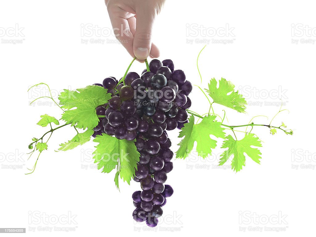 Branch of black grapes hold in hand. royalty-free stock photo
