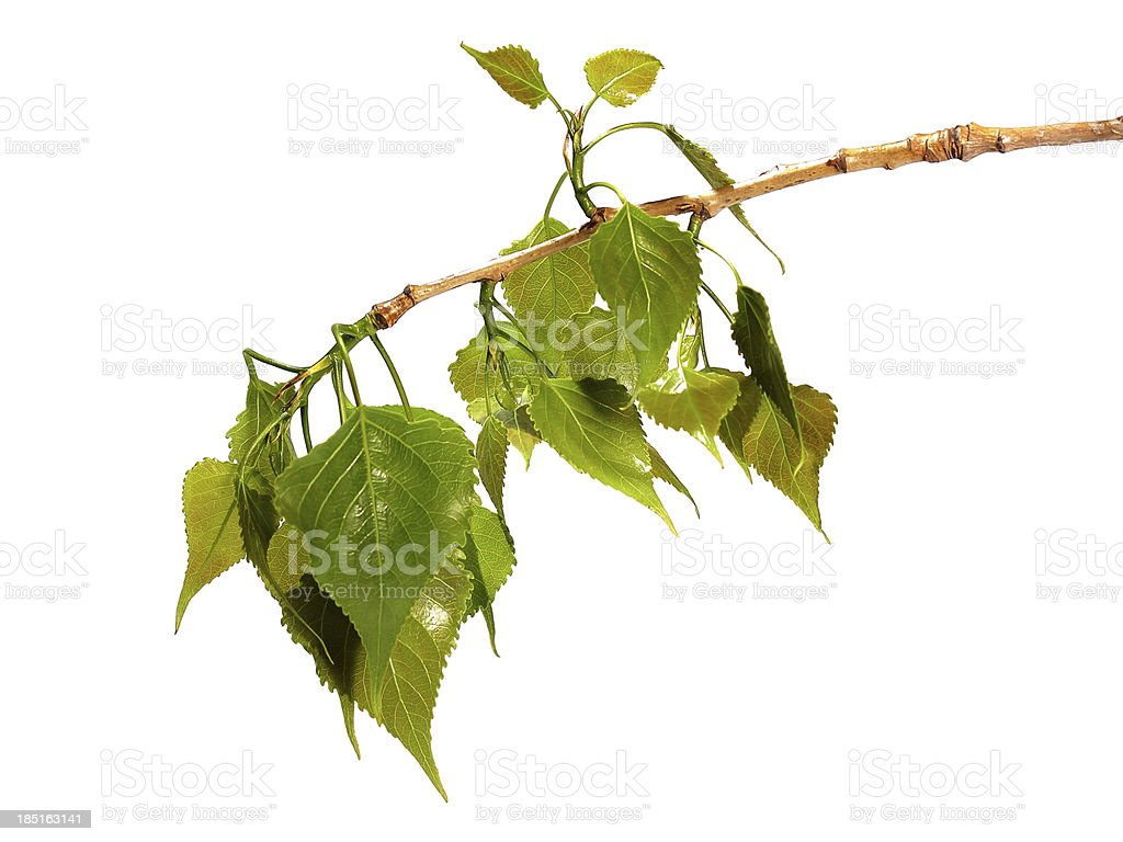 Branch of black poplar isolated on white stock photo