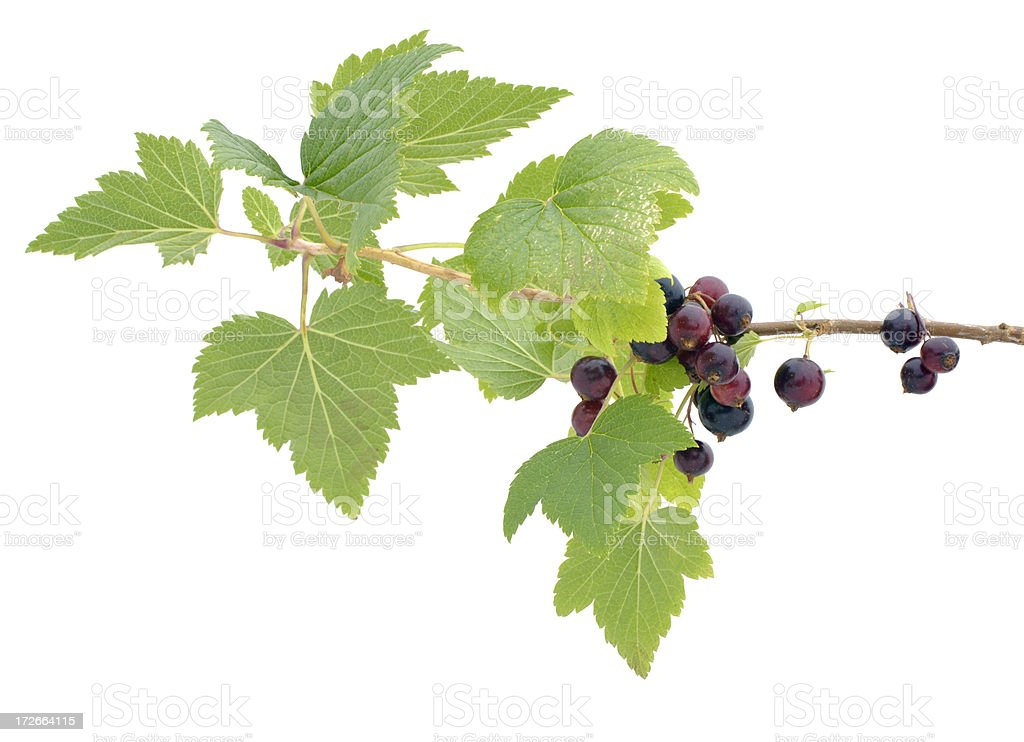 branch of blackcurrants stock photo