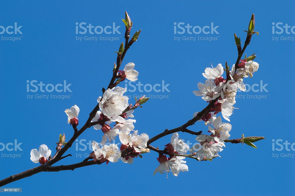 Branch of blooming cherry over clear blue sky royalty-free stock photo
