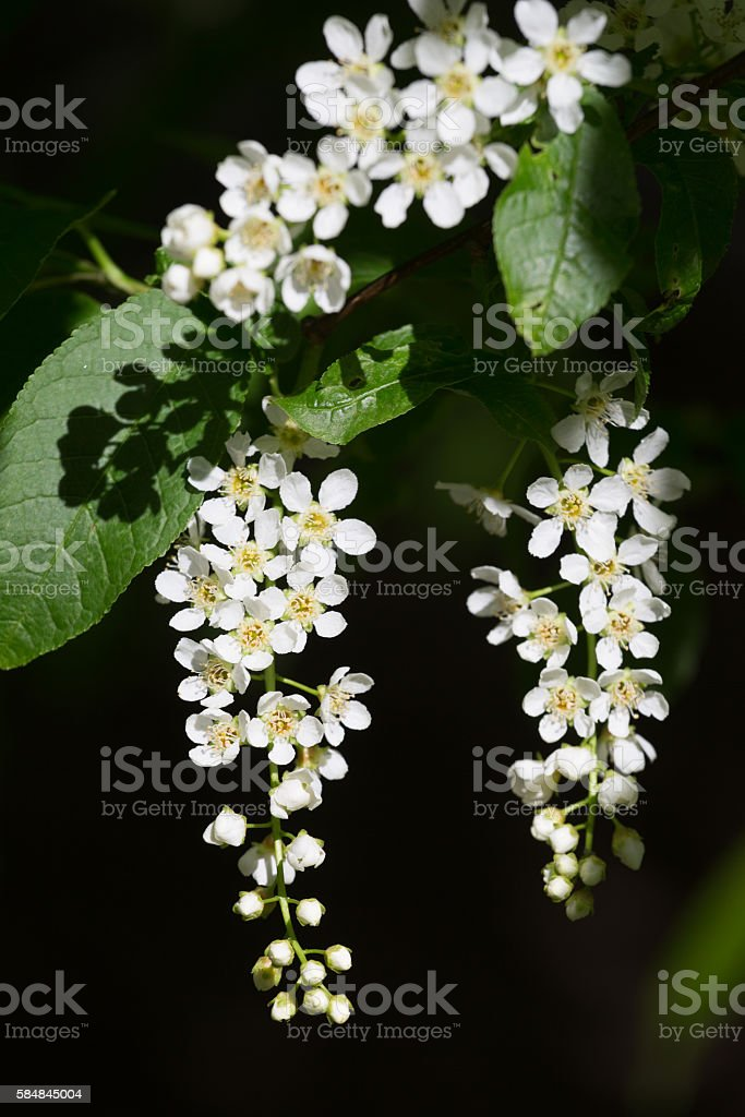 Branch of  blossoming bird cherry in a bright sunny day stock photo