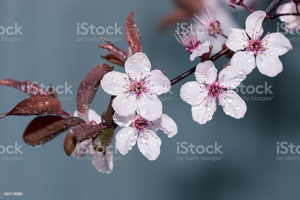 Branch of blossoming plum tree on blue background stock photo