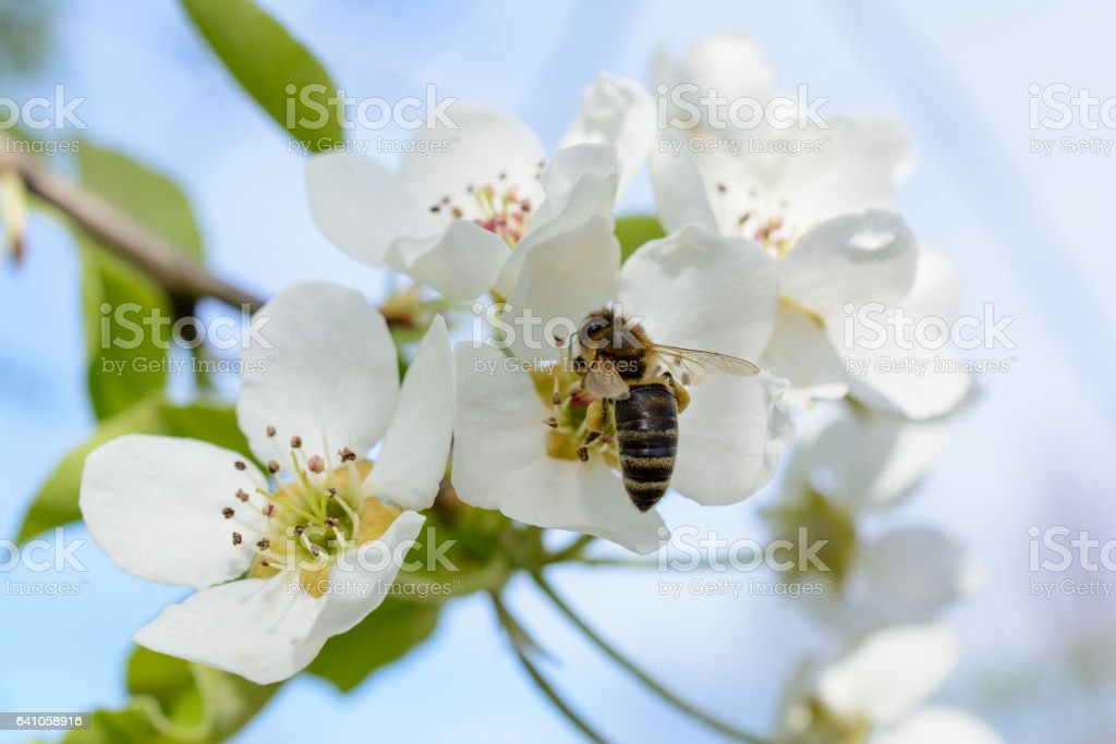 Branch of blossoming tree with white flowers. Spring flowering. stock photo