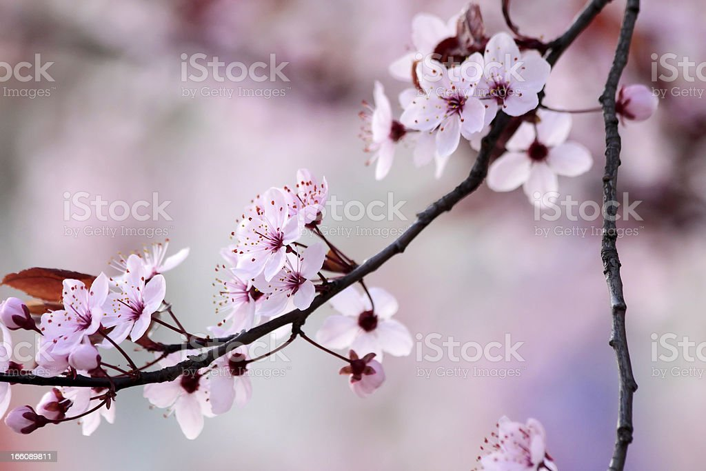 Branch of cherry Blossoms royalty-free stock photo