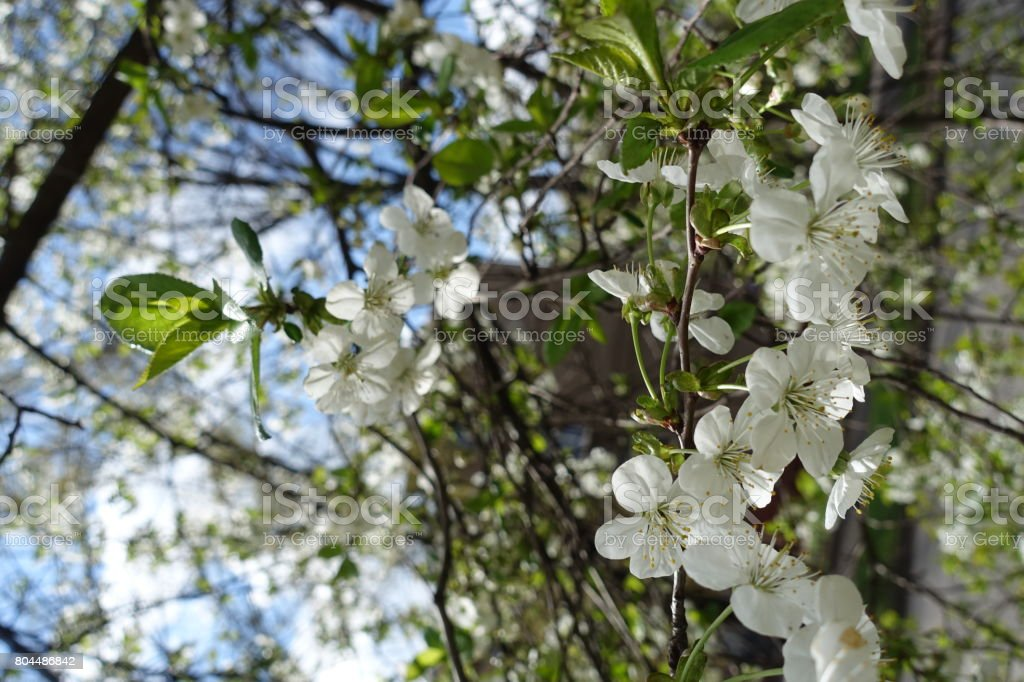 Branch of cherry with pendent white flowers stock photo