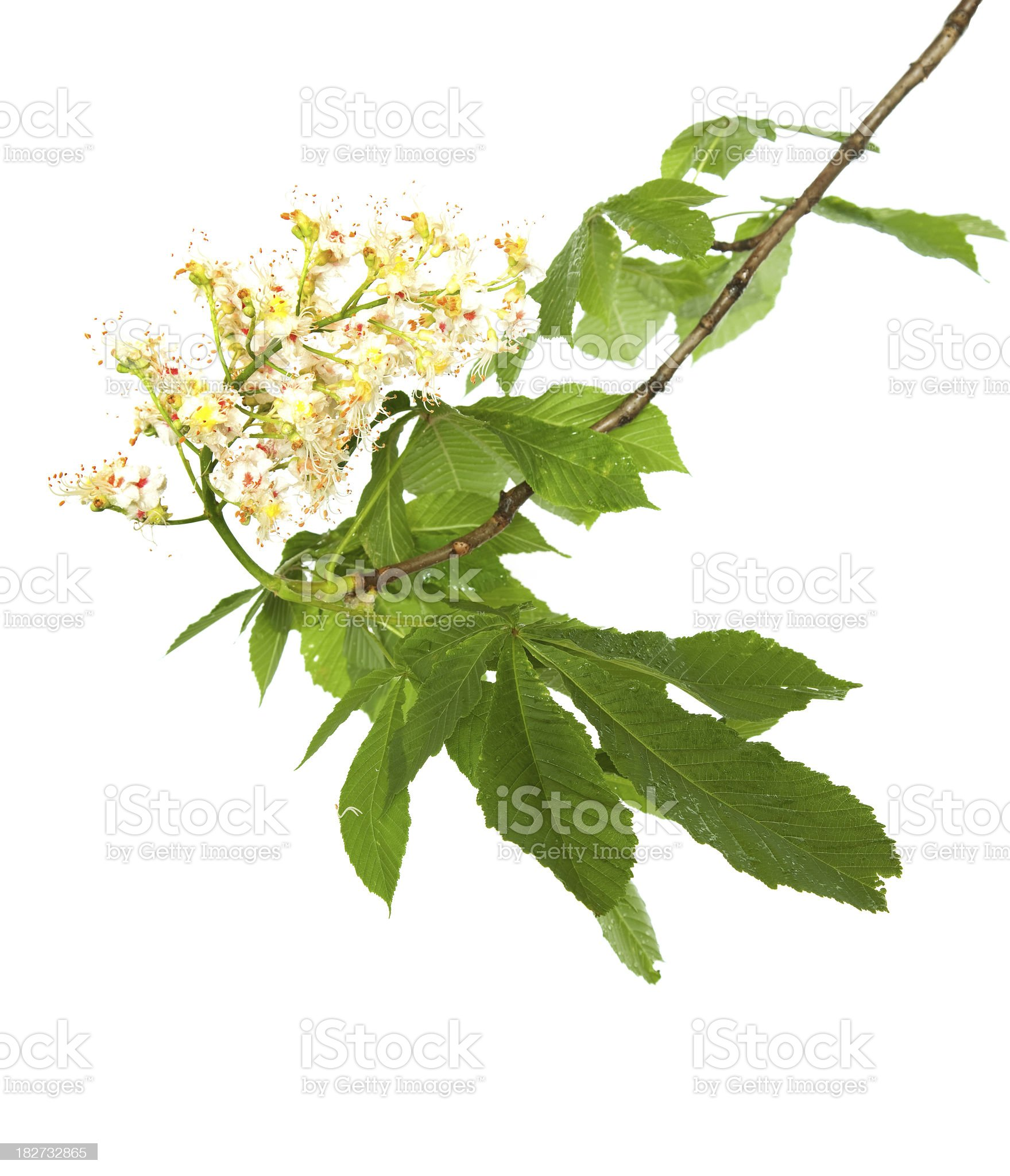 Branch of chestnut. royalty-free stock photo