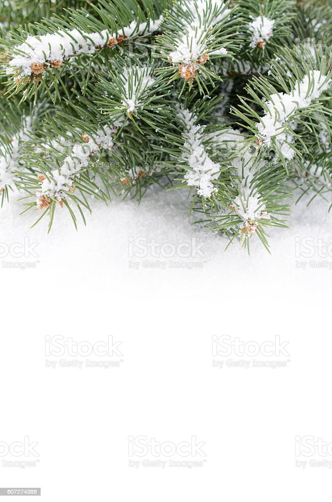 Branch of Christmas tree on a snow over white background stock photo