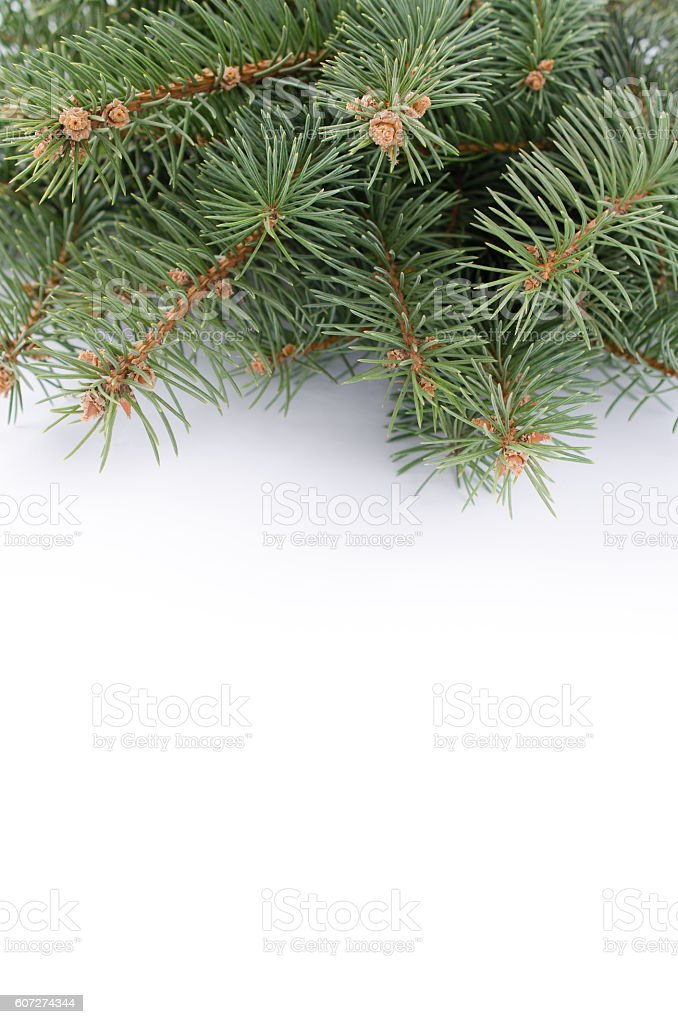 Branch of Christmas tree over white background stock photo