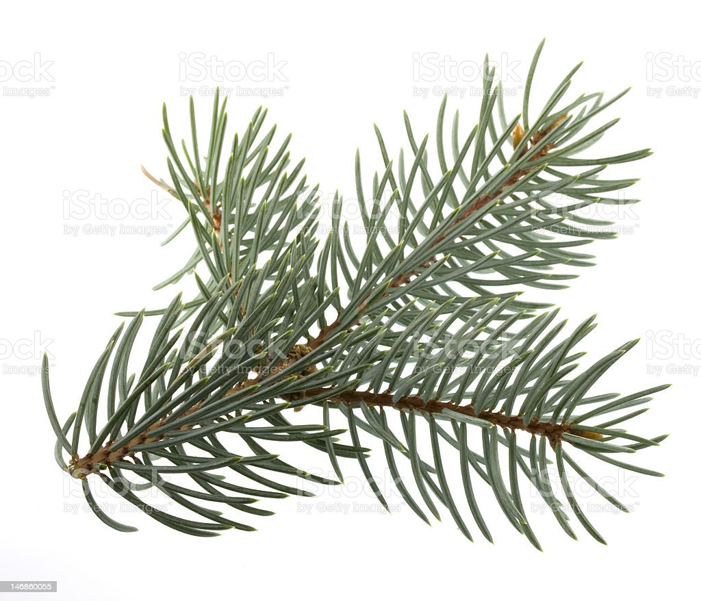 branch of Colorado silver spruce royalty-free stock photo