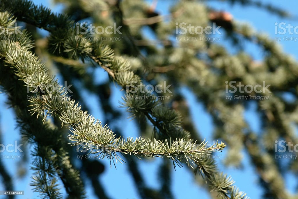 Branch Of Conifer stock photo