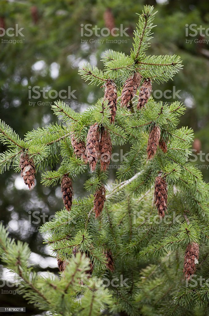 Branch of Douglas-fir tree with pinecones stock photo