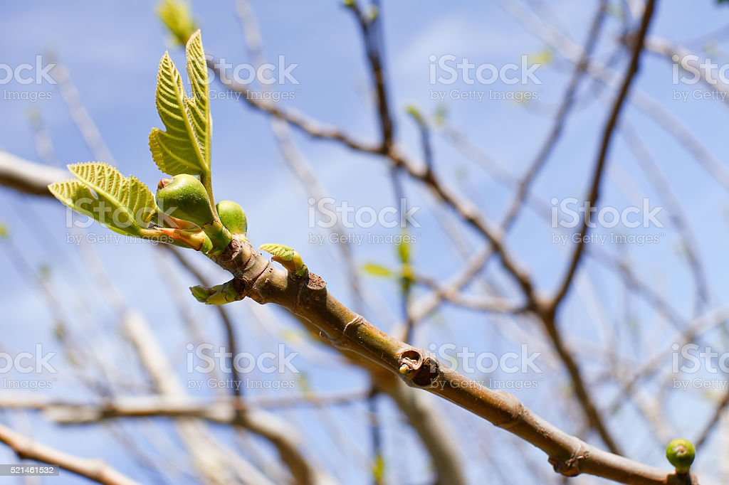 branch of fig tree stock photo
