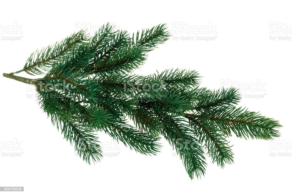 Branch of fir. stock photo