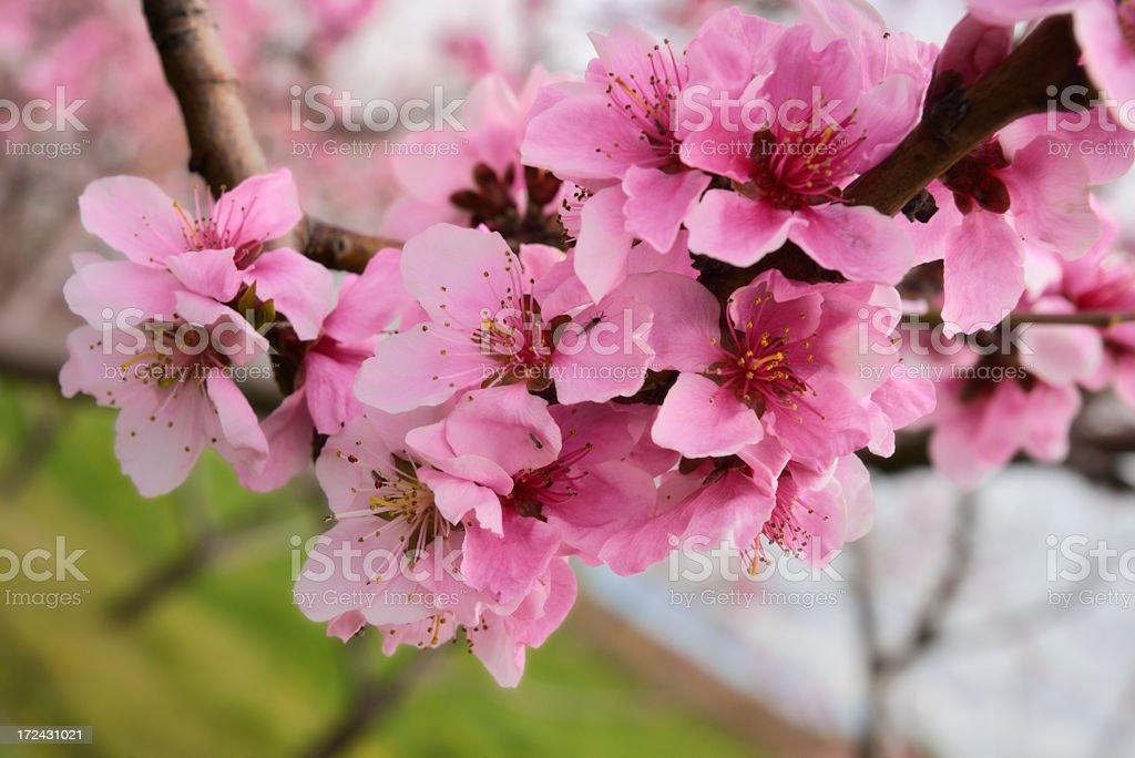 Branch of flowering nectarine tree stock photo