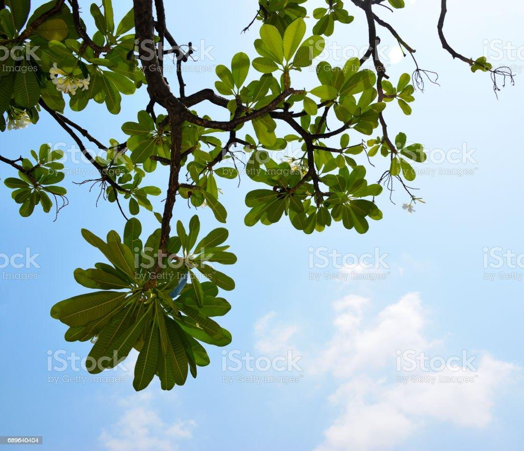 Branch of frangipani on the blue sky background stock photo