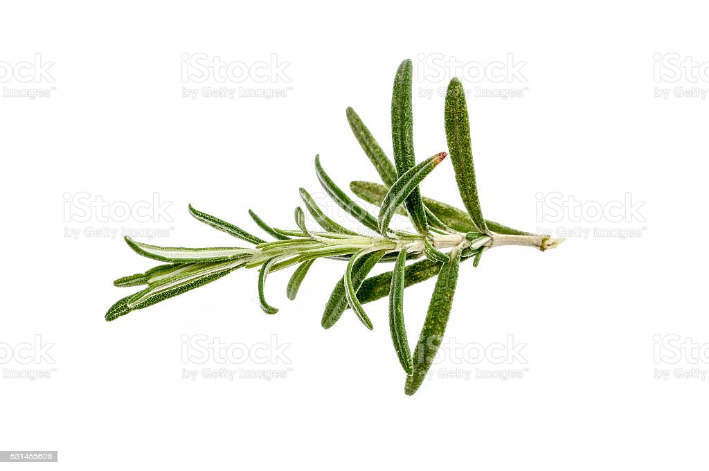 Branch of fresh rosemary isolated on white background. stock photo